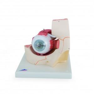 Augenmodell in Augenhöhle, 7-teilig